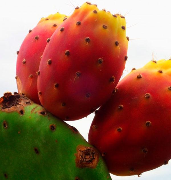 Cactus-Fig2